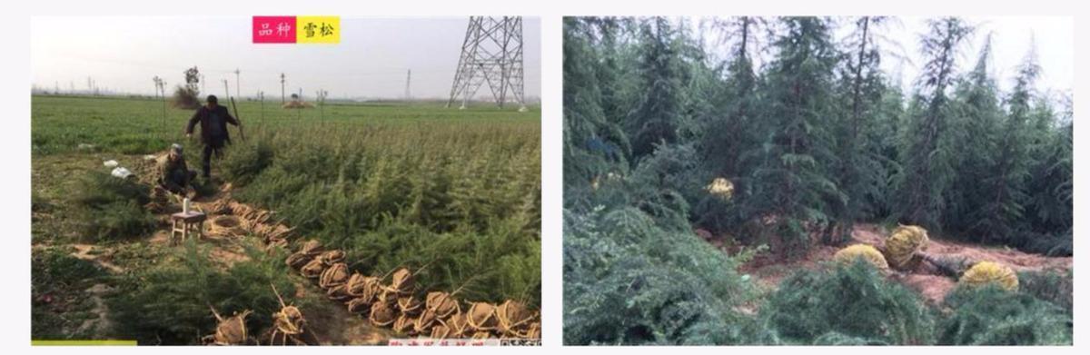 """汝南雪松:种一棵树最好是10年前,其次是现在;长出""""摇钱树"""" 雪松 汝南 南京雪松 农业 三农 第1张"""