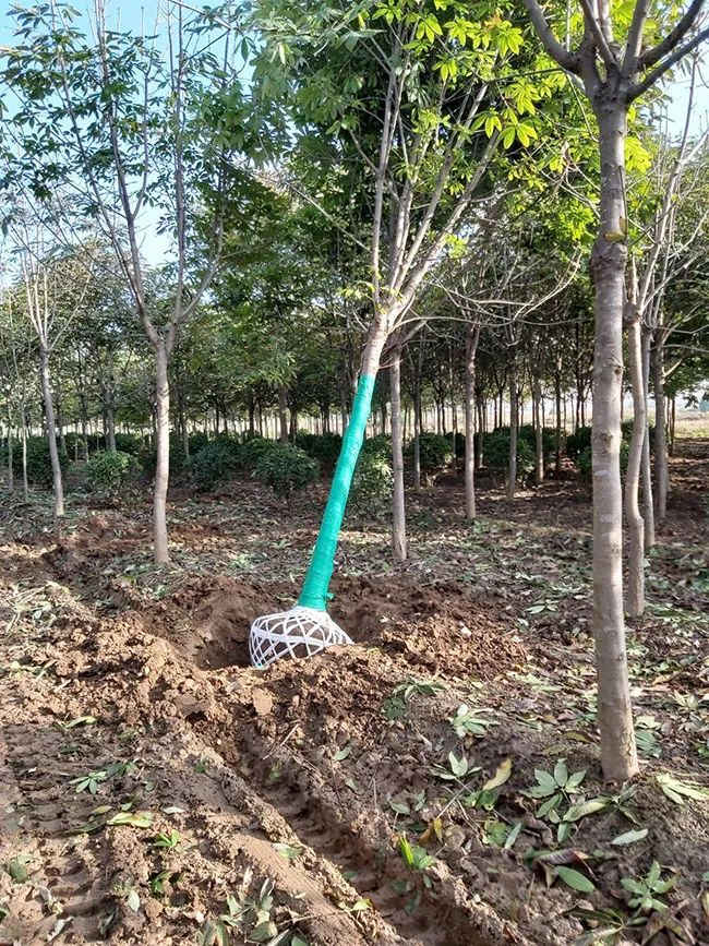 七叶树的种植和管理,七叶树怎么养护
