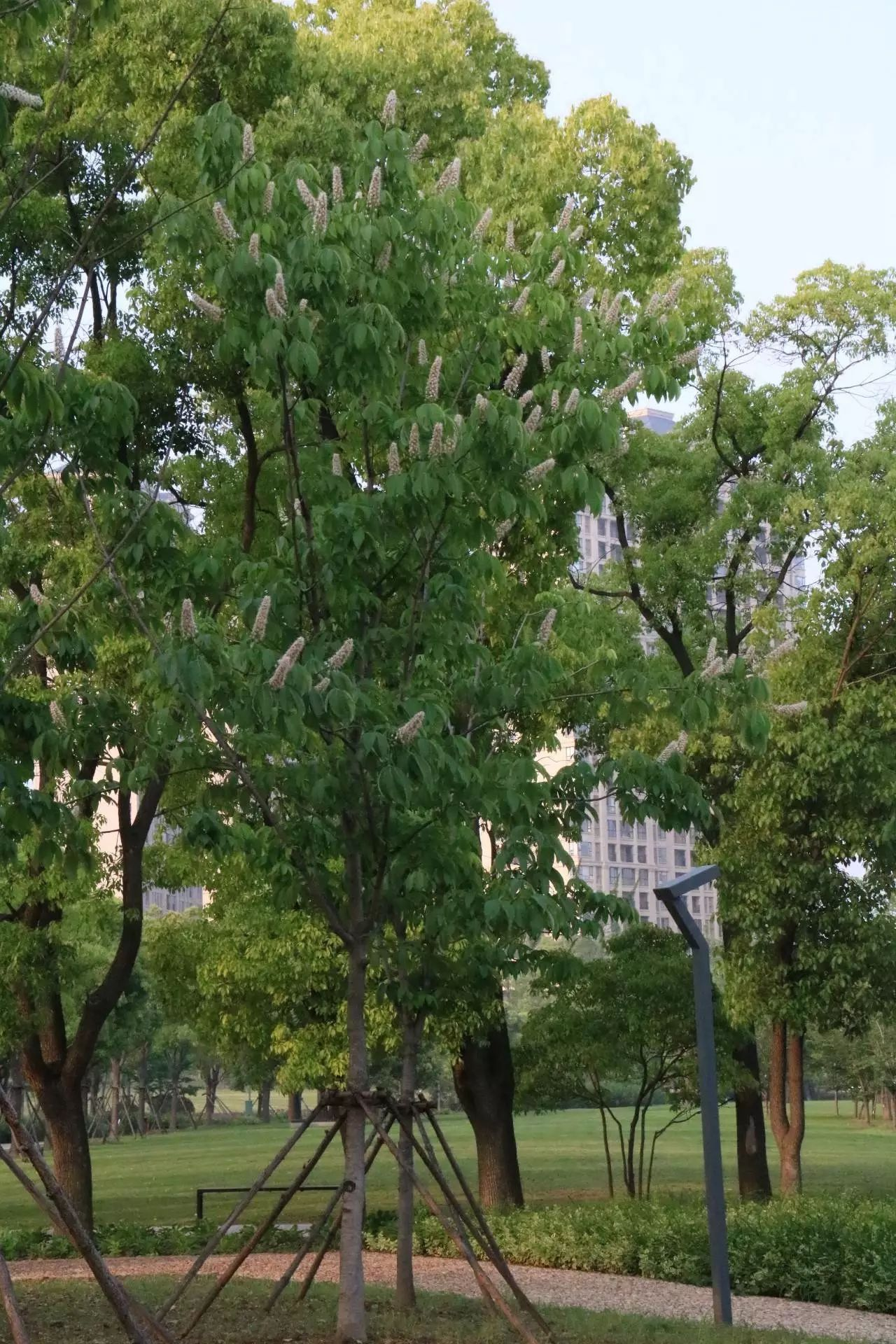 四大行道树之一 —— 七叶树