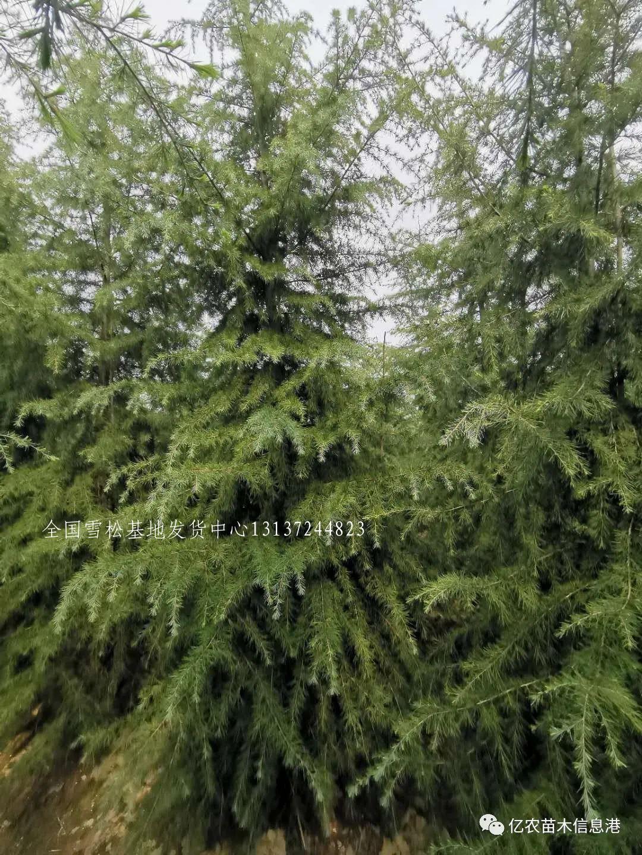 雪松小苗防寒措施 雪松 林业 农业 种植业 苗木 第2张
